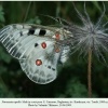 parnassius apollo male1